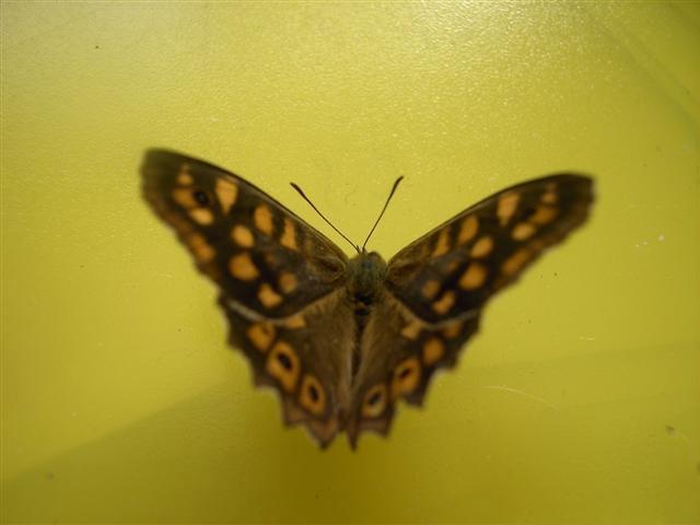papillons sur nos fleurs  10sikj