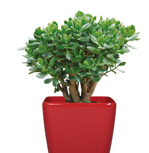Plantes vertes, grasses d'intérieur 25jvns