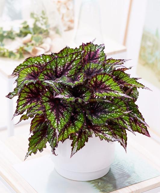 Plantes vertes, grasses d'intérieur 25rnnu