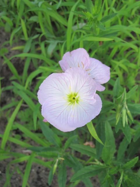 Oenothera 16t319