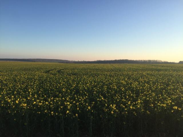 Du tournesol en place du colza dans les Plateaux de Bourgogne et du Barrois. - Page 2 3101x7